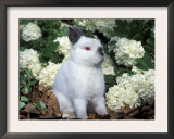 Netherland Dwarf Domestic Rabbit Art by Lynn M. Stone