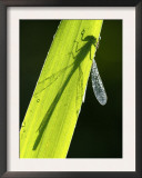 Blue-Tailed Damselfly, Silhouette on Leaf, Tamar Lake, Cornwall, UK Art by Ross Hoddinott