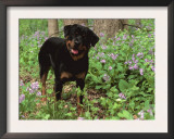 Rottweiler Dog in Woodland, USA Posters by Lynn M. Stone
