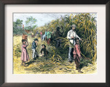 White Overseer with African-American Field-Hands Cutting Sugar-Cane, c.1800 Prints