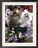 Domestic Cat, Tabby and Siver Chinchilla Persian Kittens, by Watering Can Among Bellflowers Prints by Jane Burton
