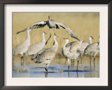 Sandhill Cranes Displaying, Bosque Del Apache National Park, NM, USA Art by Rolf Nussbaumer