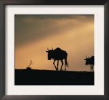 Two Wildebeest, at Sunset, Kenya Prints by Terry Andrewartha