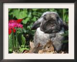 Mini Rex Domestic Rabbit Prints by Lynn M. Stone