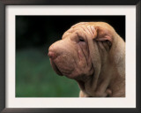 Shar Pei Face Print by Adriano Bacchella