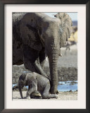 African Elephant Female Helping Baby (Loxodonta Africana) Etosha National Park, Namibia Posters by Tony Heald