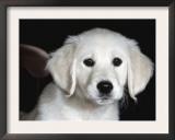 Golden Retriever Puppy Prints by Lynn M. Stone