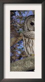 Barred Owl in Tree, Corkscrew Swamp Sanctuary Florida USA Print by Rolf Nussbaumer