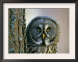 Portrait of Great Grey Owl (Strix Nebulosa) Behind Scots Pine Tree, Scotland, UK Prints by Pete Cairns