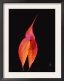 Masdevallia Orchid Flower, Machu Picchu, Peru, Sth America Posters by Pete Oxford