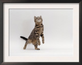 Domestic Cat, Brown Spotted Tabby Reaching Up Prints by Jane Burton