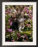Domestic Cat, 8-Week, Tabby Among Red Campion and Hedge Parsley Posters by Jane Burton