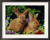 New Zealand Domestic Rabbits and Flowers Prints by Lynn M. Stone