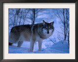 European Grey Wolf Male in Snow, C Norway Prints by Asgeir Helgestad