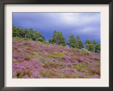 Pine Woodland and Heather, Abernethy RSPB Reserve, Cairngorms National Park, Scotland, UK Print by Pete Cairns