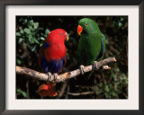 Eclectus Parrots: Male (Right) and Female (Left) Art by Lynn M. Stone