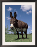 Domestic Donkey, Wisconsin, USA Art by Lynn M. Stone
