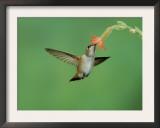 Rufous Hummingbird, Immature Feeding on Scarlet Gilia Paradise, Chiricahua Mountains, Arizona, USA Prints by Rolf Nussbaumer