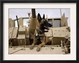 US Air Force Military Working Dog Sits on a US Army M2A3 Bradley Fighting Vehicle Posters by Stocktrek Images