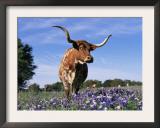 Texas Longhorn Cow, in Lupin Meadow, Texas, USA Prints by Lynn M. Stone
