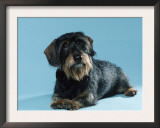 Wire-Haired Dachshund Print by Petra Wegner