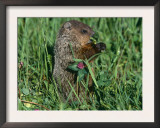 Woodchuck, Feeding, Minnesota, USA Prints by Lynn M. Stone