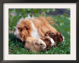 Domestic Guinea Pig with Young, Europe Art by  Reinhard