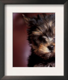 Yorkshire Terrier Puppy Portrait Art by Adriano Bacchella
