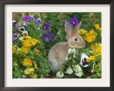 Mini Rex Rabbit, Amongst Pansies, USA Prints by Lynn M. Stone