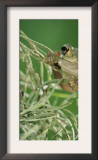 Mexican Treefrog, on Spanish Moss, Texas, USA Print by Rolf Nussbaumer