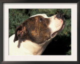 Staffordshire Bull Terrier Looking Up Prints by Adriano Bacchella