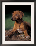 Rhodesian Ridgeback Puppy Art by Adriano Bacchella