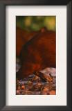 Capybara, Pantanal, Brazil Posters by Pete Oxford