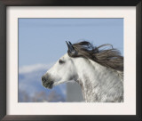 Grey Andalusian Stallion Head Profile While Cantering, Longmont, Colorado, USA Print by Carol Walker