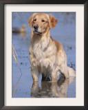 Golden Retriever in Water, USA, North America Prints by Lynn M. Stone