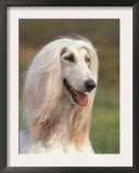 Domesti Dog, Afghan Hound Portrait Posters by Adriano Bacchella