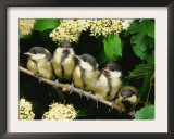 Great Tits, Five Fledgelings Perched in Row (Parus Major) Europe Print by  Reinhard