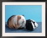 Sheltie Guinea Pig with Young Posters by Petra Wegner