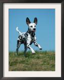 Juvenile Dalmatian Dog Running Outdoors Prints by Petra Wegner