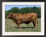 Domestic Cattle, Senepol Bull, Florida, USA Prints by Lynn M. Stone