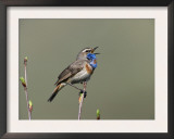 Bluethroat, Male Singing, Switzerland Poster by Rolf Nussbaumer