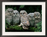Five Young Tawny Owls, Germany Posters by  Delpho