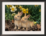 Two Young Palamino Domestic Rabbits, USA Poster by Lynn M. Stone