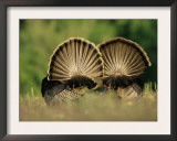Rear View of Male Wild Turkey Tail Feathers During Display, Texas, USA Posters by Rolf Nussbaumer