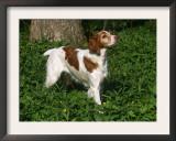 Brittany Spaniel, Domestic Gundog, USA Prints by Lynn M. Stone