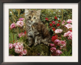 Domestic Cat, 8-Week, Long Haired Tabby Kitten with Pink Roses Prints by Jane Burton