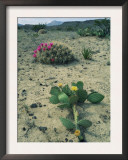 Big Bend National Park, Chihuahuan Desert, Texas, USA Strawberry Cactus and Prickly Pear Cactus Art by Rolf Nussbaumer