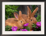 Mother and Baby New Zealand Rabbit Amongst Petunias, USA Print by Lynn M. Stone