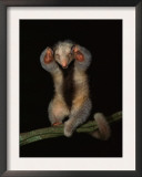 Pygmy / Silky Anteater, South America Prints by Pete Oxford