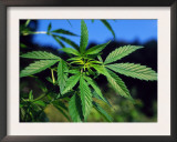 Indian Hemp / Cannabis Plant (Cannabis Indica / Sativa) Europe Prints by  Reinhard